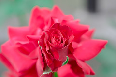 On top. (Omygodtom) Tags: red flower macro green art rose garden season nikon dof bokeh pov pdx tamron90mm naturelovers simpleflowers d7000