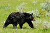 Black Bear 1 (Ben_D) Tags: bear wildlife blackbear n1406192786