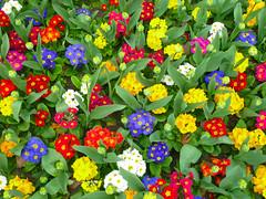 P1010895_01 (JohnCaribe) Tags: flowers flower color colour nature beauty colorful bright vibrant colourful multicolor multicolour exiting