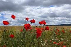 Amapoleando  ;-)). (Victoria.....a secas.) Tags: flowers red field clouds horizon paisaje poppies castilla palencia dueñas amapoleando landscapek