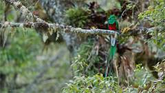 Resplendent Quetzal (Raymond J Barlow) Tags: travel green bird costarica resplendentquetzal raymondbarlowtours