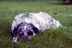 Booster (severalsnakes) Tags: dog cute grass yard pentax sleep spot sleepy access spotted manual patch 3570 k30 35702535