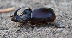 Nashornkfer- Rhinoceros beetle- Oryctes nasicornis (Marlis1) Tags: macro bug insect spain beetle catalonia makro tortosa insekten katalonien rhinocerosbeetle scarabaeidae oryctesnasicornis nashornkfer explored canon60d marlis1 blatthornkfer riesenkfer inexplorejuly52014
