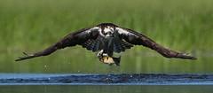 Osprey - Providing for his family (ken.helal) Tags: osprey