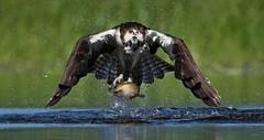 Osprey in 3-D (ken.helal) Tags: osprey