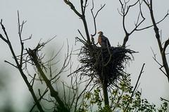 In the nest (Jean-Phi.) Tags: aves haliaeetus rapace accipitridae whitetailedeagle haliaeetusalbicilla accipitriformes pygarguequeueblanche grandaigledemer aiglebarbu seeagler huardorfraie halitealbicille