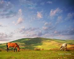 Horses of the high hills. (Edward Dullard Photography. Kilkenny, Ireland.) Tags: kilkenny ireland horses nature animals landscape carlow edwarddullardphotographykilkennycityireland