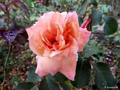 Luglio nel Roseto (boisderose) Tags: roses rose july rosa rosegarden trieste roseto luglio 2014 boisderose parcodisangiovanni