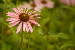 coneflower (Stacy Pederson Photography) Tags: macro bee flowermacro beemacro stacypedersonphotography