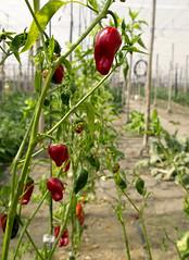 Peppers (#MariaOrtega) Tags: nature verduras vegetables greenhouse almeria healthyfood invernadero