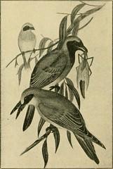 Anglų lietuvių žodynas. Žodis genus sphecotheres reiškia genties sphecotheres lietuviškai.