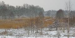 IMGP5440 (Henk de Regt) Tags: bos sneeuw natuur bomen riet landschap oerbos nederlandsenatuur beekbergerwoud klarenbeek veluwe forest snow nature trees reeds landscape virginforest dutchnature