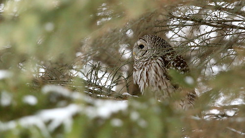 Barred Owl - Peaking out from the bushes