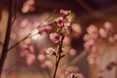 night bloom (PhotographerJamesOrtiz) Tags: nikon d600 bokeh dof bloom ie riverside california ca