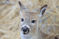 Please Sir Can I Have Some More... (Cindy's Here) Tags: deer young missionisland thunderbay ontario canada canon face takeaim explore