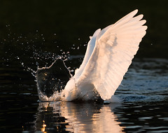 2017-02-03 P9720971 The Strike (Tara Tanaka Digiscoped Photography) Tags: bird splash shapes water contrast snowyegret lightanddark florida manualfocus gh4 mirrorless