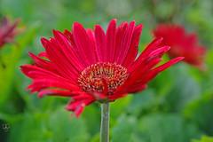 Daisy and Daylight (DGS Photography) Tags: missouri branson silverdollarcity flower bloom blossom daisy gerberdaisy red greatphotographers