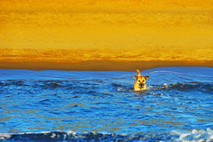 Ship of love (petrapetruta) Tags: dog cute swimming water sea mediterranean yellow blue colorful catchy light goldenhour wave sonya7 summer