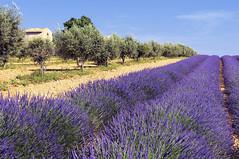 Drome (denisbonzy) Tags: champ lavande lavandin provence oliviers drôme fleur bleu cultiver culture france odeur parfum printemps plante senteur été mas maison