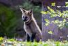 20170402-Mähnenwolf, Tiergarten Nürnberg-007.jpg (serpentes80) Tags: mähnenwolf tiere tiergartennürnberg