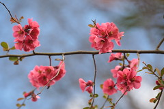 Chaenomeles Japonica (Henry Hemming) Tags: chaenomelesjaponica ornamental quince tree shrub pink garden spring blue sky red flower