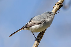Blue-gray Gnatcatcher (tresed47) Tags: 2017 201704apr 20170405johnheinzbirds birds bluegraygnatcatcher canon7d content folder johnheinznwr pennsylvania peterscamera petersphotos philadelphia places takenby us warbler ngc npc