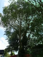 Barbados, Karibik - Poisonous Tree Machineel