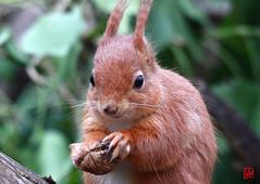 Un omnivore opportuniste..... (mamnic47 - Over 7 millions views.Thks!) Tags: sceaux parcdesceaux écureuil perrucheàcollier printemps 10032017 img1842 noix