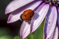 ladybug (Bánhidai Bea) Tags: ladybug macro macrodreams makro flower