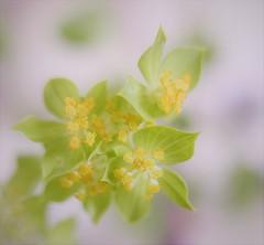 spring dream (louise peters) Tags: spring lente dream droom wolfsmelk euphorbia yello green geel groen flower bloem dof scherptediepte square vierkant macro makro