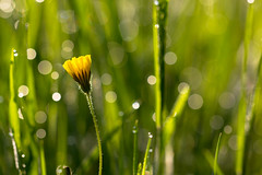 Nella rugiada del mattino - In the morning dew ((Raffaella@)..quasi pronta alla partenza!) Tags: flower nature light sunlight spring april morning grass yellow green bubble bokeh colors dew