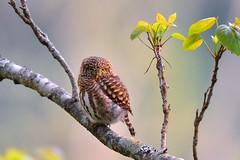 鵂鶹 Glaucidium brodiei(Collared Owlet) (Shang-fu Dai) Tags: 台灣 taiwan 台中市 和平區 nikon d7100 formosa 鵂鶹 glaucidiumbrodiei collaredowlet 飛羽 鳥 bird 台中 taichung tamron150600mm 大雪山 樹