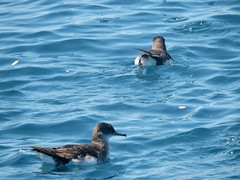 fluttering shearwater on pelagic trip into Haikura Gulf (Pete Read) Tags: fluttering shearwater pelagic haikura gulf new zealand
