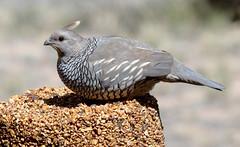 Scaled Quail (Callipepla squamata); Albuquerque, New Mexico, Sandia Heights [Lou Feltz] (deserttoad) Tags: bird wildbird nature newmexico desert outdoors behavior quail sex