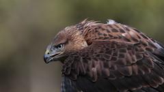 Ice Eyes (carlo612001) Tags: oasidisantalessio falconeria falconry buzzard hawk poiana raptors raptor bird birds uccello uccelli