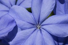 Plumbago (johnnylawless72) Tags: floridakeys floridawildlife cudjoekey plumbago
