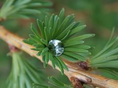 Diamond in Larch (SAMARA:) Tags: larch raindrops april glentrool scotland diamond