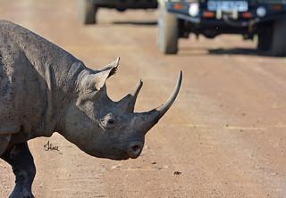 Rhino in Roadway - Kenya Traffic Jam - 4278b+