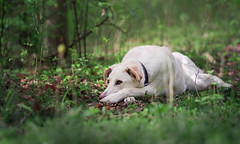 Green Forest (Shanaro) Tags: dog pet cute canine puppy forest nature trail flowers spring green blooming bokeh calm beautiful white labrador mix mixbreed rescue shepherd gsd cream tricks portrait animal photography patient canon 700d 135mm l posing training walk easter outdoor best friend