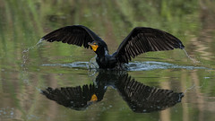 Double-crested Cormorant (stephaniepluscht) Tags: alabama 2017 double crested doublecrested cormorant twelve mile creek twelvemile mobile botanical gardens fight wings reflection