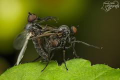 Yoga for Flies (Amanda Blom Photography) Tags: fly flies love insect insects macro nature macrophotography groen green natuur vliegen vlieg vleugels scherp canon photography sharp