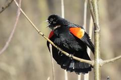 Carouge à épaulettes / Red-winged Blackbird / Angelaius phoeniceus (Robert Dupont) Tags: parcangrignon montréal photoscape carouge redwingedblackbird robertdupont oiseau bird birds blackbird redwinged parc urbain