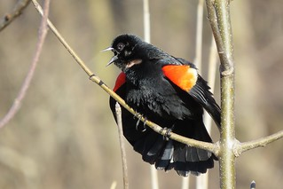 Carouge à épaulettes / Red-winged Blackbird / Angelaius phoeniceus