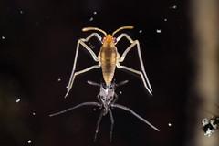 molted water strider (myriorama) Tags: molting waterstrider hemiptera heteroptera gerromorpha gerroidea gerridae pond