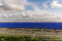 Blauwe druifjes (Chantal van Breugel) Tags: landschap bloembollen bloemenveld blauwedruifjes bollenstreek noordholland tzand lente april 2017 canon5dmark111 canon1635