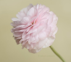 Candyfloss (Photography by Ali Roberts) Tags: ranunculus beautiful mothersdaygift petals pink soft delicate ©alisonroberts