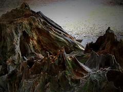 Rotten trunk / Verrotteter Baumstumpf (Caledoniafan (Astrid)) Tags: baum baumstumpf trunk tree nature natur caledoniafan nikon nikoncoolpixl820 nikoncoolpix bavarianforest bayerischerwald
