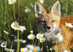Red Fox pup...#11 (Guy Lichter Photography - 3.4M views Thank you) Tags: canon 5d3 canada alberta wildlife animal animals mammal mammals fox redfox pup explore
