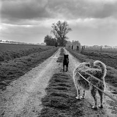 Mamiya058 (salparadise666) Tags: mamiya c330 sekor 80mm fuji neopan acros 100400 caffenol cl semistand 36min nils volkmer vintage camera 6x6 square format medium bw monochrome landscape rural dog path walk animal track trail pathway