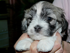 havanese_68 (kunyiliu) Tags: anturo augen baby bichon bitzer buchsammy cute dog grau grey habanos hand havanais havanese havaneser hund kauf meiner pfoten puppy raussuchen süss süs weis weiss welpe white